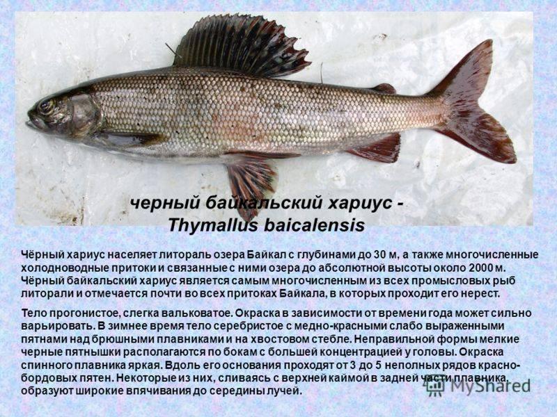 Рыба хариус: описание, где водится, внешний вид