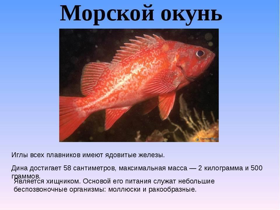 Морской окунь польза и вред?, 15 полезных свойств для организма