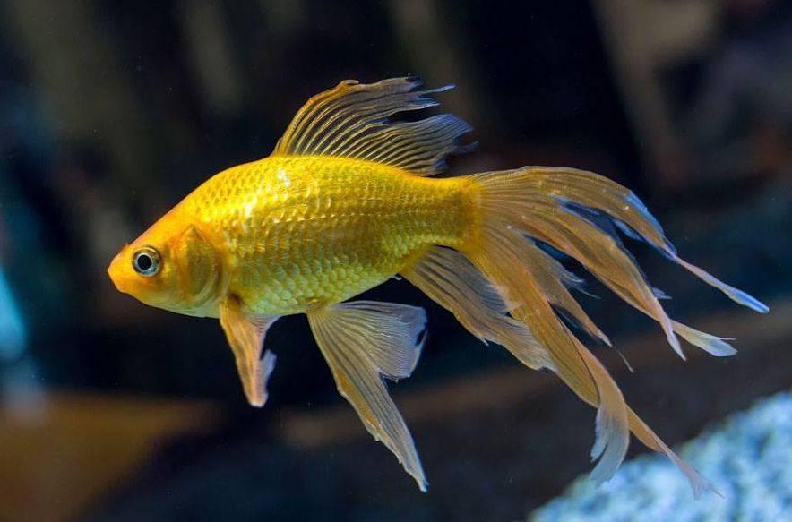 Золотые рыбки: редкие селекционные породы