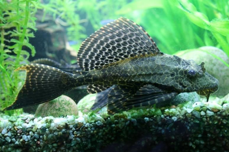 Описание аквариумных рыбок. сомы плекостомусы