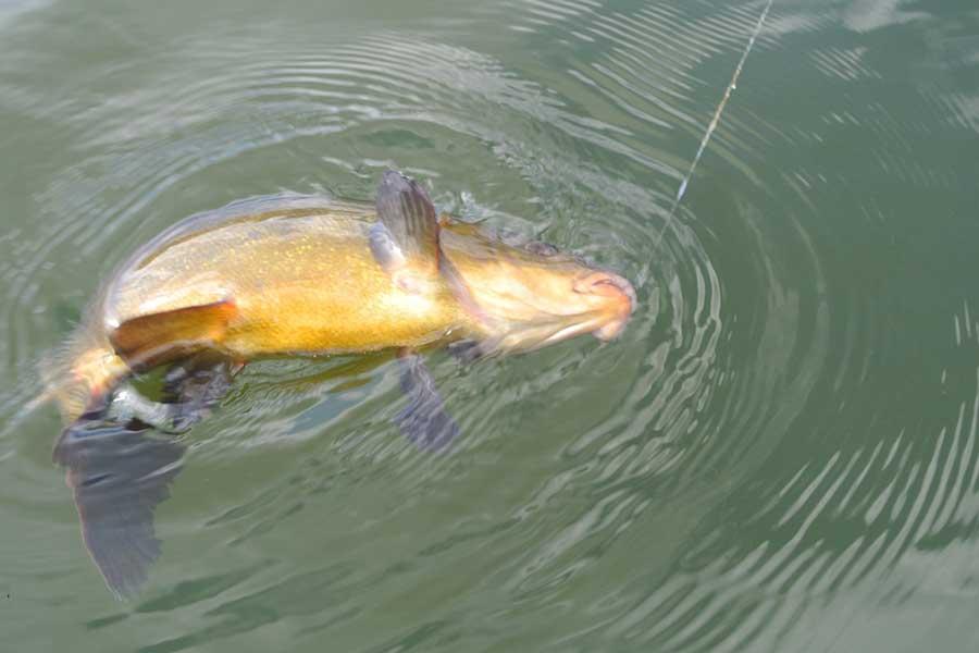 Ловля линя на поплавочную удочку летом (в августе, июле): как ловить, видео - рыба