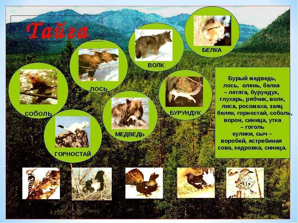 Что такое тайга? хвойные леса тайги: описание, растительный и животный мир