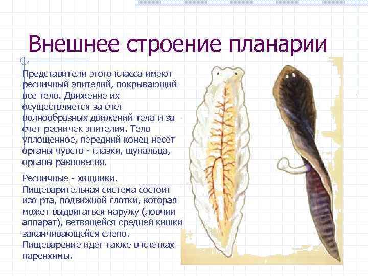 Белая планария (planariidae): строение, симптомы, образ жизни - общиймедик