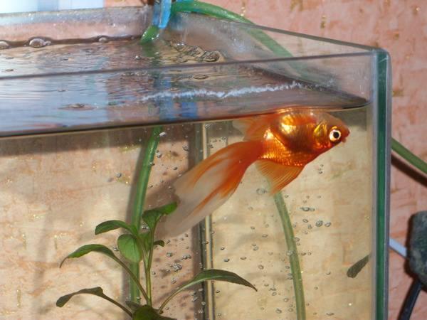 Почему рыбки в аквариуме лежат на дне (на брюшке или на боку): причины такого поведения и способы решения проблемы