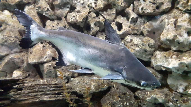 Акулий сом (пангасиус аквариумный, пресноводная акула): декоративные акулы для аквариума, совместимость, домашние виды