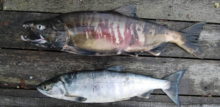 Какого цвета мясо кеты — ловись рыбка