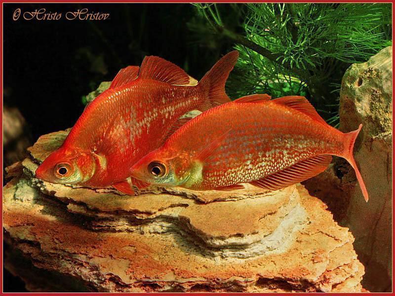 Пиранья в аквариуме: содержание, совместимость, видео ,фото,описание | аквариумные рыбки