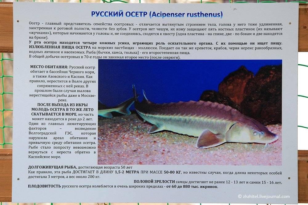 Осетровые рыбы: описание, подвиды и значение в рыбоводстве