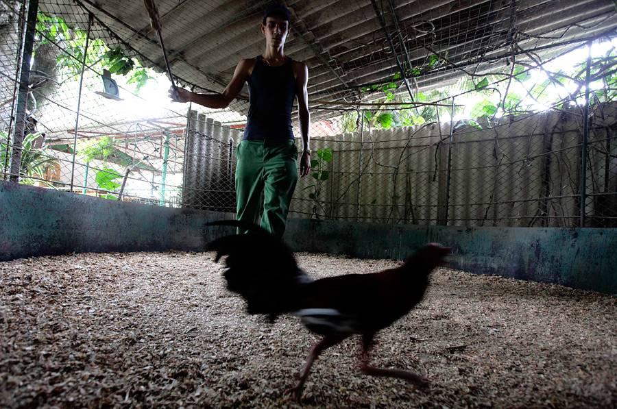 Характеристика бойцовых петухов, популярные породы птиц