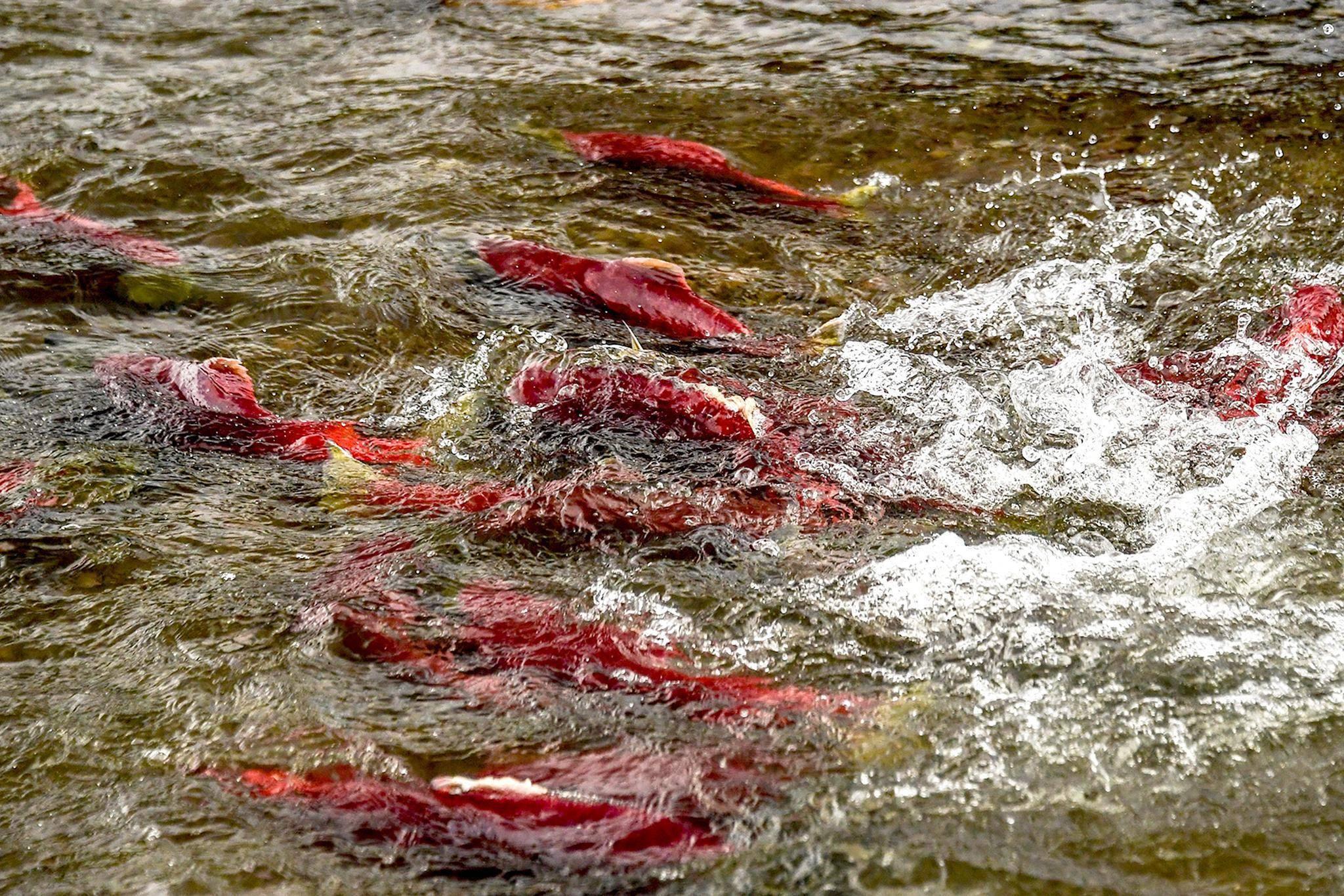 Кто такая рыба лосось? виды лососей - bionotes