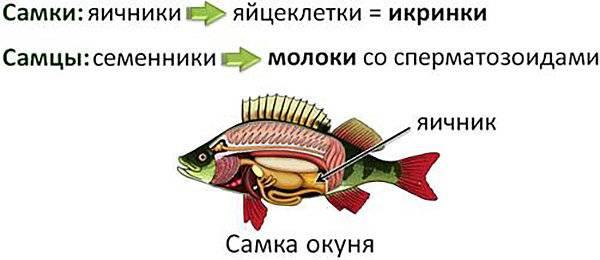 Как могут размножаться речные, морские и аквариумные рыбы