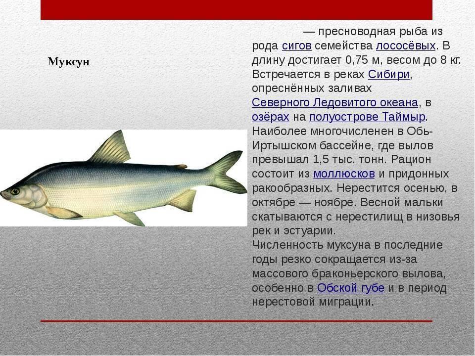 Рыба сиг: фото и описание, способы ловли | клёвая рыбалка