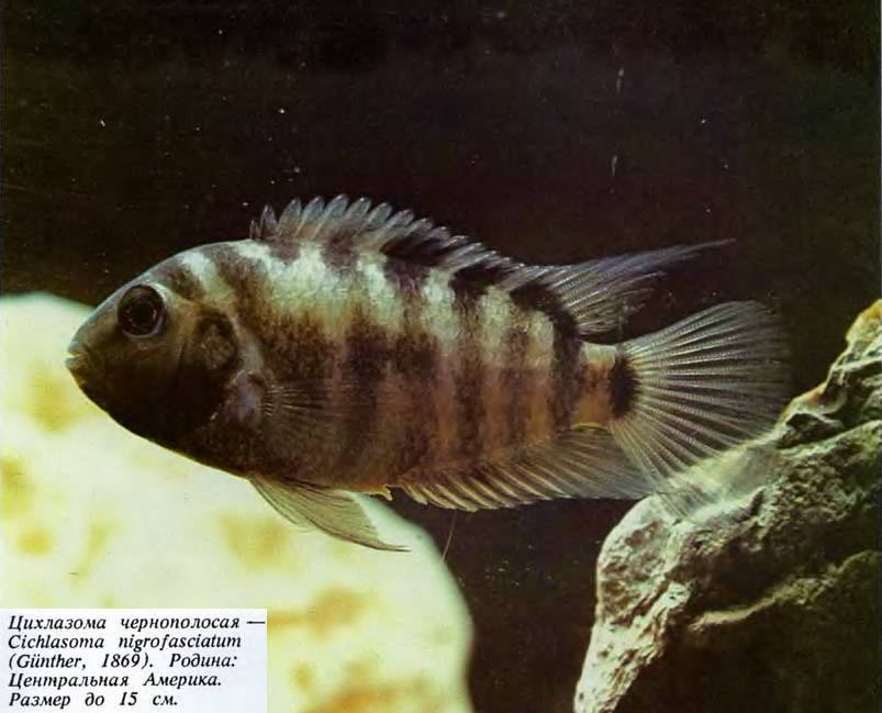 Цихлазома полосатая как происходит разведение и содержание рыбы, чёрнополосая цихлазома