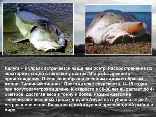Калуга рыба картинки – уход за волосами