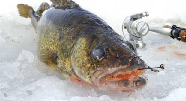 Ловля судака зимой на жерлицы: место, оснастка и время