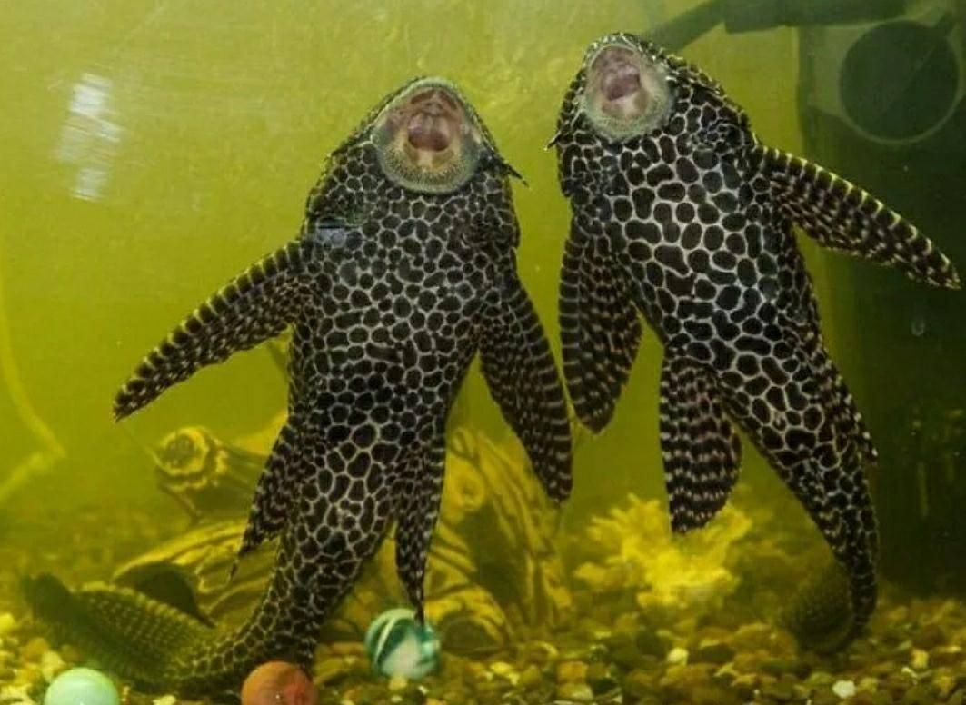 Парчовый сом: красивый уборщик вашего аквариума