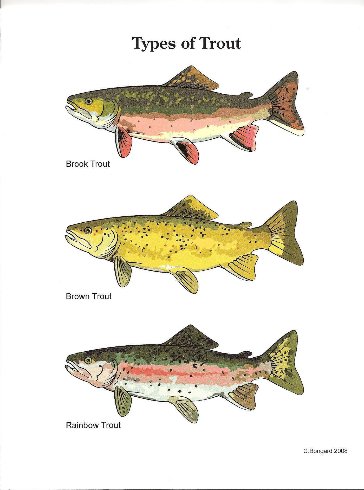 Рыба форель?: фото и описание. как выглядит форель?, чем питается и где водится
