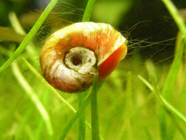 Аквариумные улитки ампулярии: содержание, размножение, питание, фото