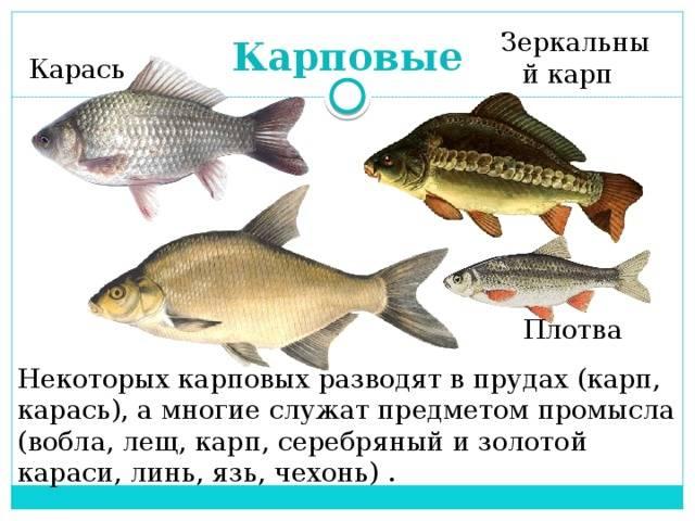 Рыба карп?: фото и описание. как выглядит карп?, чем питается и где водится