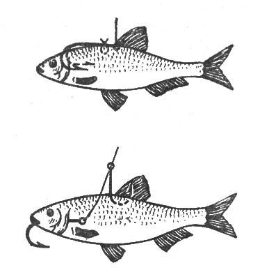 Как насаживать живца на жерлицу, крючок и тройник: способы насадки живца в зависимости от вида хищника