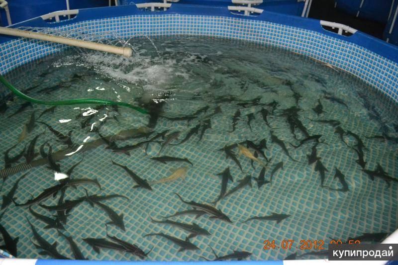 Разведение и выращивание рыбы в садках