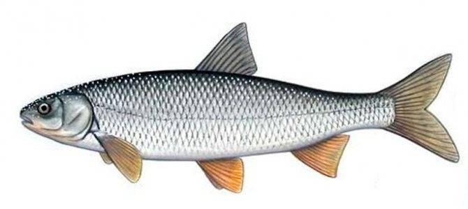 Рыба кутум описание фото