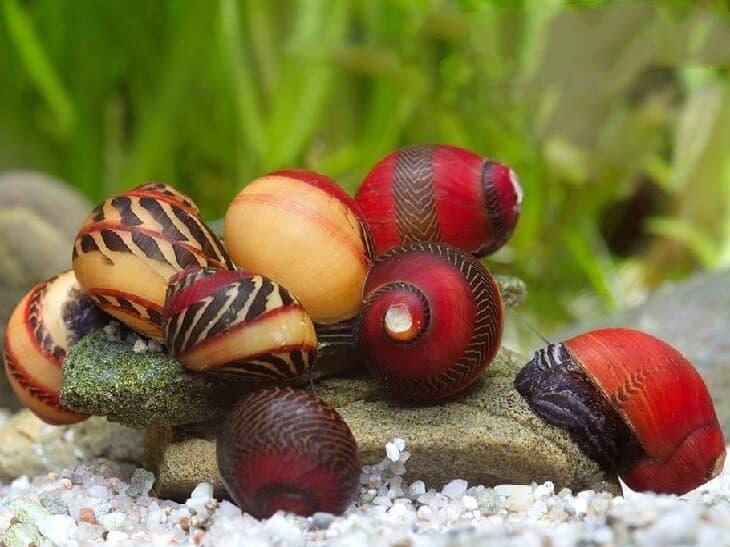 Улитка спикси – аквариумный эльф: содержание, размножение, фото-видео обзор