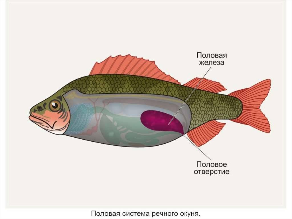Спаривание рыб: кратко о способах размножения рыбок