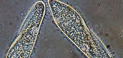 Как вырастить простейших одноклеточных в домашних условиях. как вырастить инфузорию