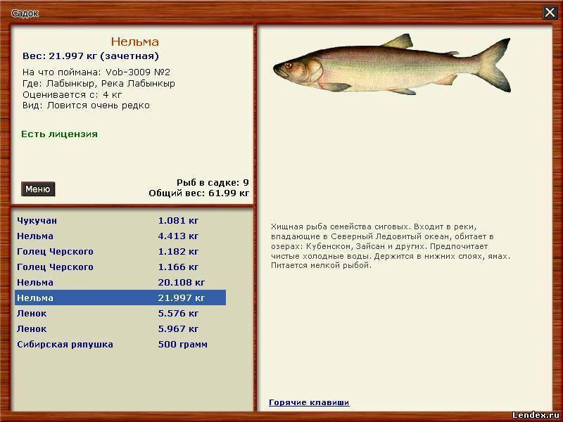 Нельма: состав, польза, вред, противопоказания, калорийность. рыба нельма в кулинарии - рецепты   знать про все