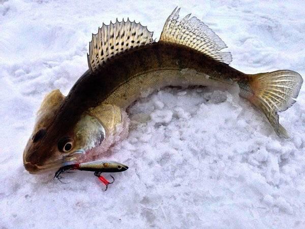 Судак на мормышку: ловля зимой и по открытой воде