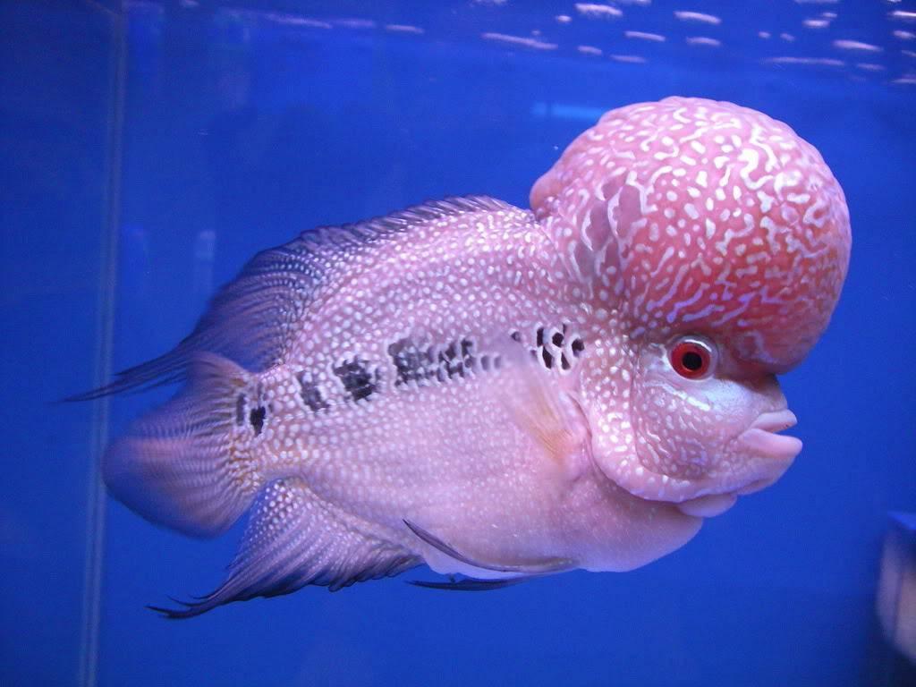 Тернеция глофиш (22 фото): содержание, разведение и уход за рыбками гло, определение пола у тернеции, пурпурные glofiish и другие разновидности