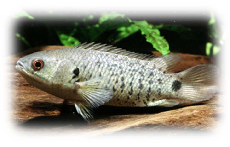 Особенности рыбы-ползуна: внешний вид, поведение, домашнее содержание и разведение анабасов