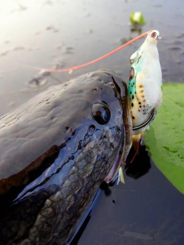 Ловля змееголова на озерах и реках с применением снастей для ловли змееголового хищника фото видео