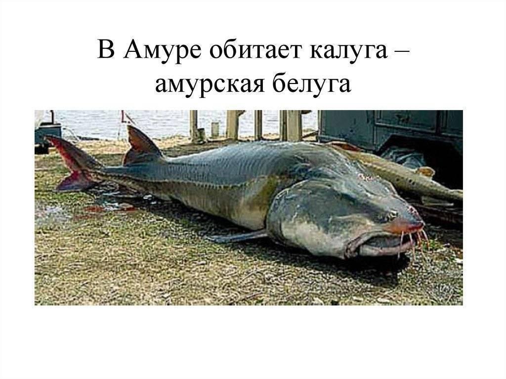Рыба белуга?: фото и описание. как выглядит белуга?, чем питается и где водится