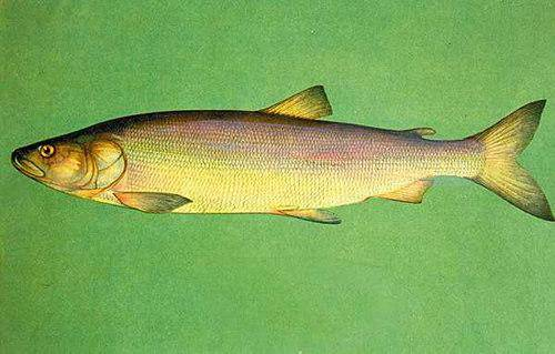 Омуль | фото, виды рыб, ареал обитания, образ жизни и способ ловли