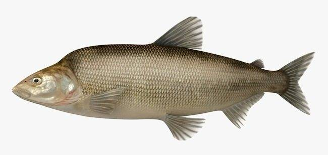 Рыба сопа, её особенности, где водится и как ловить   животный мир