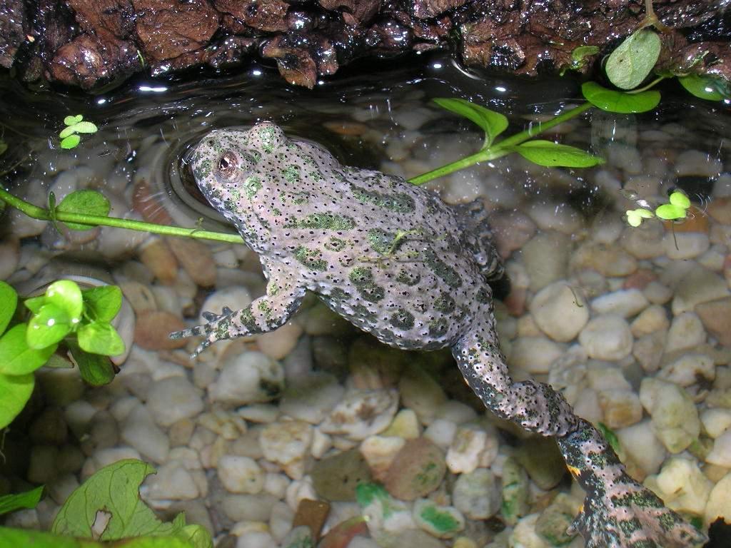 Обыкновенная (серая) жаба: описание, образ жизни, содержание в террариуме