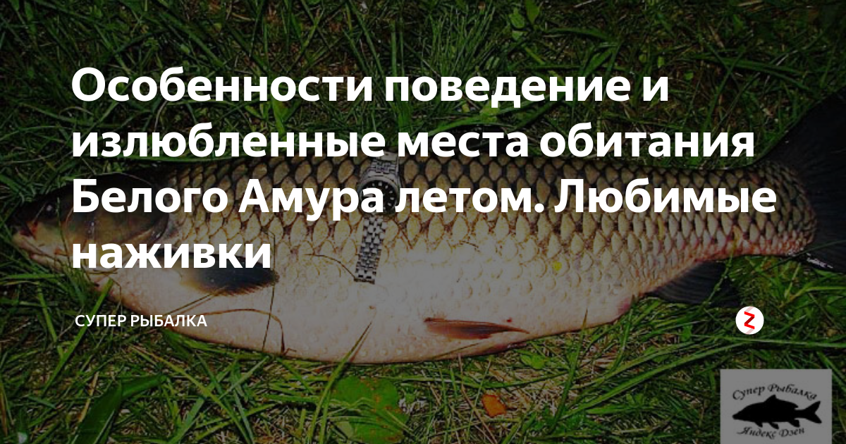 Рыба черный амур: описание, повадки, полезные свойства