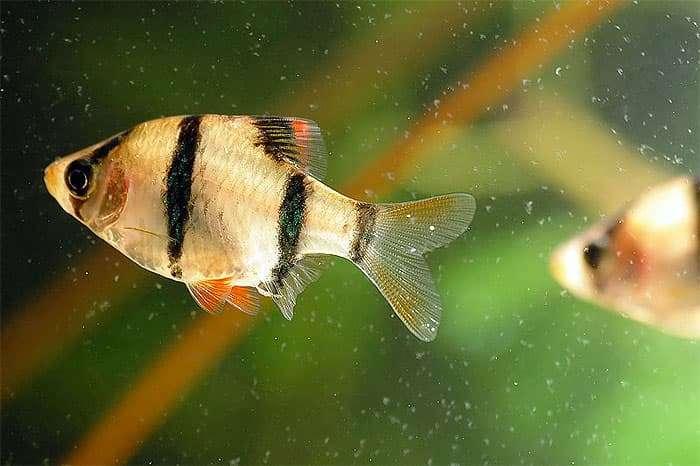 Золотой барбус: содержание, фото аквариумной рыбки, совместимость с другими обитателями, а также правила размножения и возможные болезни