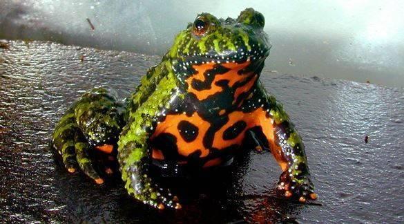 Озерная ляшушка:  описание, места обитания, образ жизни
