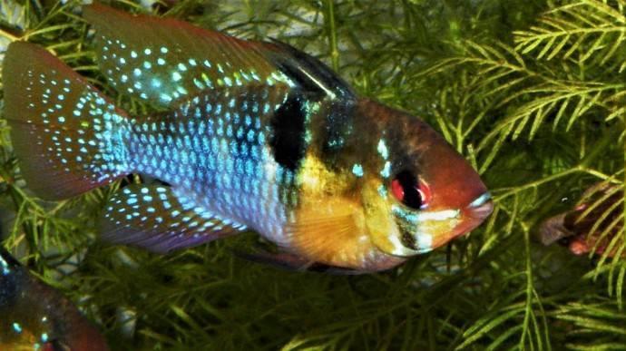Апистограмма рамирези: содержание и разведение рыб в домашних аквариумах
