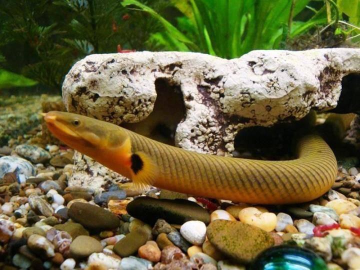 Калабарский каламоихт - рыба змея, фото, видео, содержание