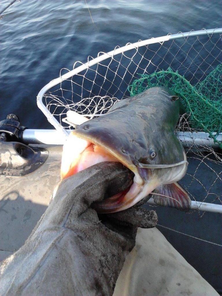Рыба сом?: фото и описание. как выглядит сом?, чем питается и где водится