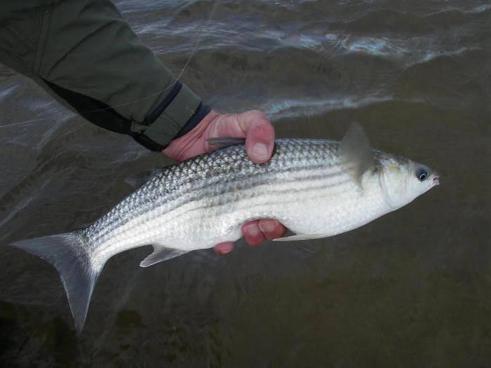 Рыбалка на азовском море-какая рыба ловится на азовском море