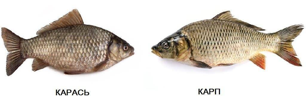 Рыба карась — польза и вред для организма | польза и вред