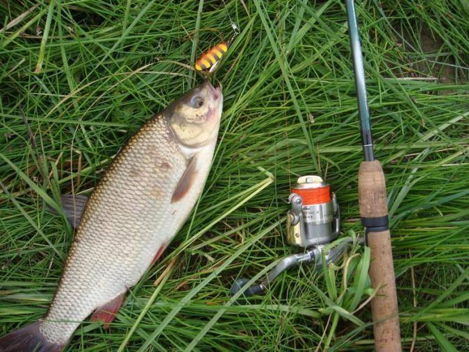 Ловля язя летом — снасти, прикормки и насадки