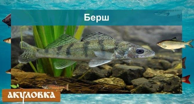 Рыба гольян