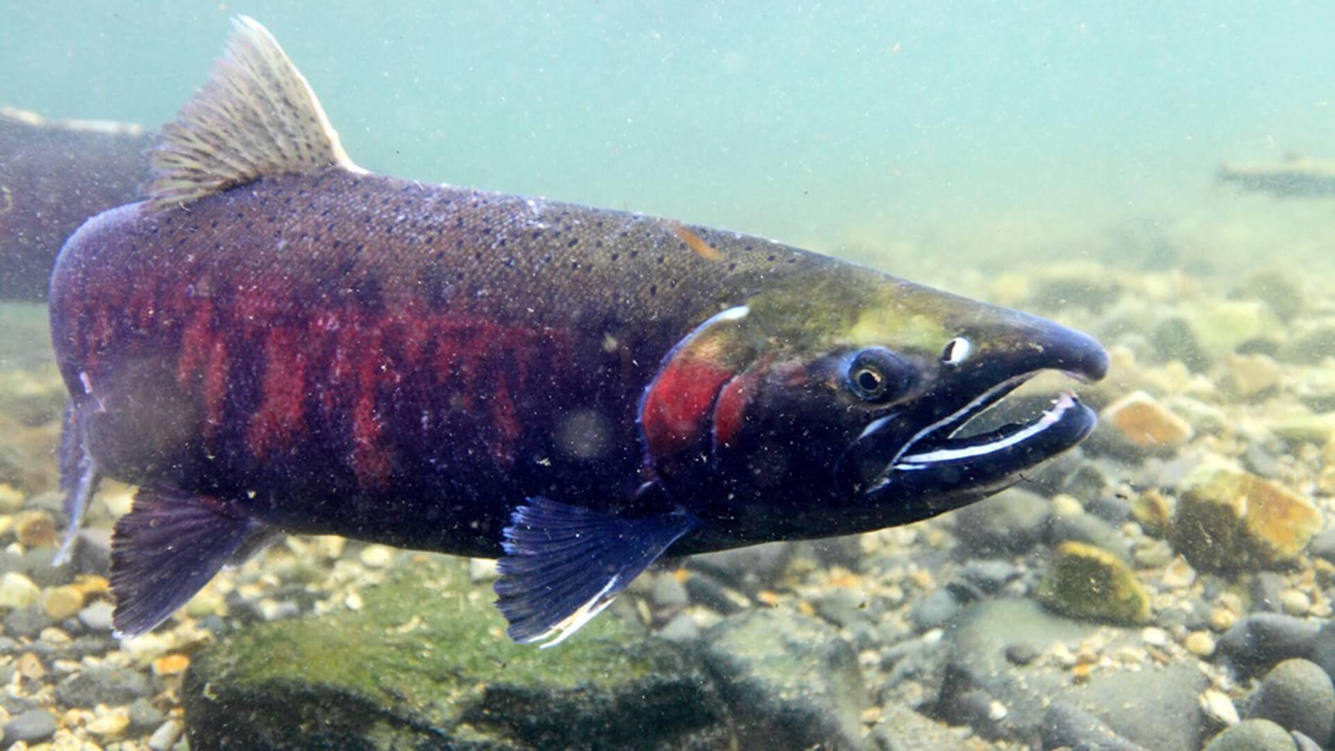 Как выглядит рыба кета и чем она отличается от горбуши?