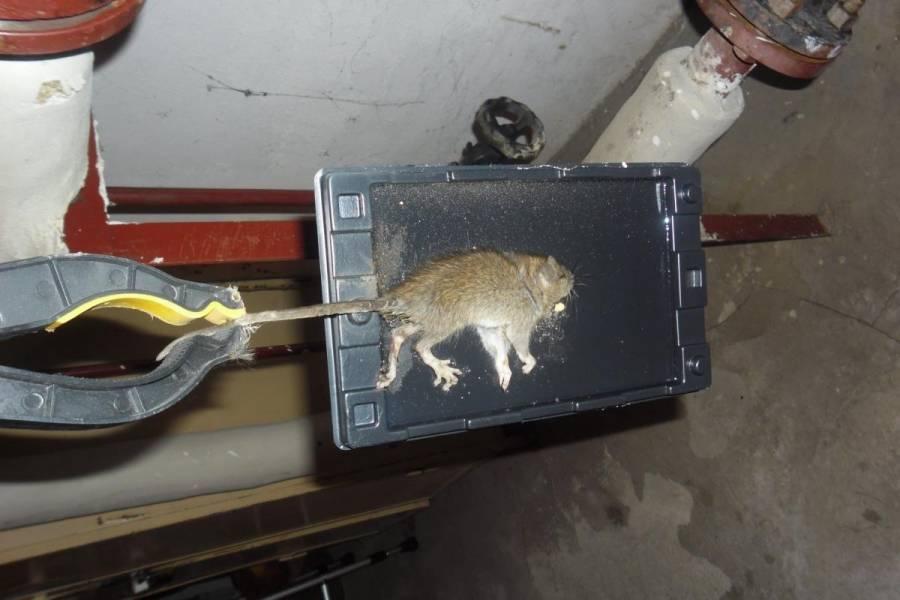 Что едят мыши - на какую приманку ловить грызунов